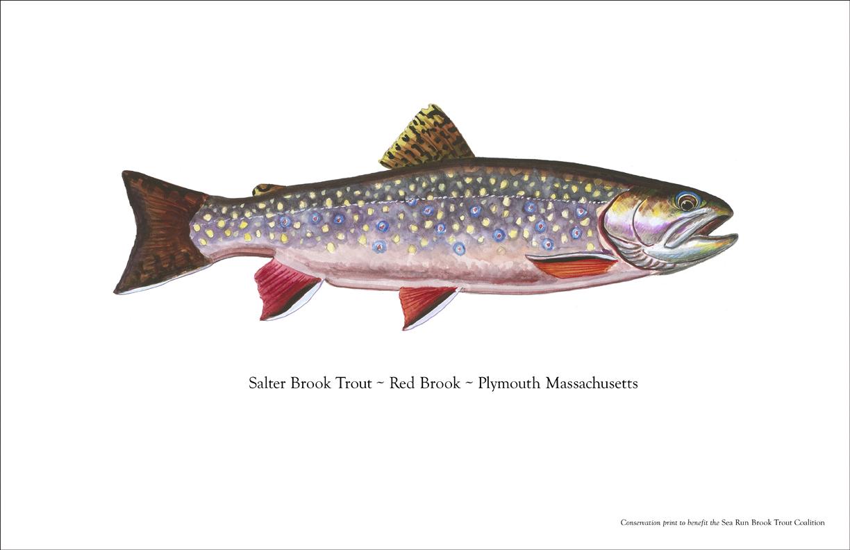 Prosek Sea Run Brook Trout Print